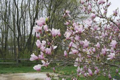 Magnolia 'May' (May Magnolia), inflorescence