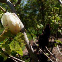 Magnolia 'Gold Cup' (Gold Cup Magnolia), flower, full