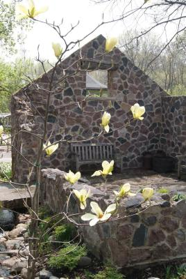 Magnolia 'Goldfinch' (Goldfinch Magnolia), habit, spring