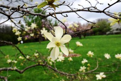 Magnolia 'Gold Star' (Gold Star Magnolia), flower, full