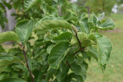 Magnolia 'Marillyn' (Marillyn Magnolia), bud, terminal