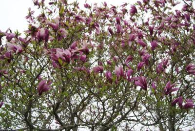 Magnolia 'Jane' (Jane Magnolia), inflorescence
