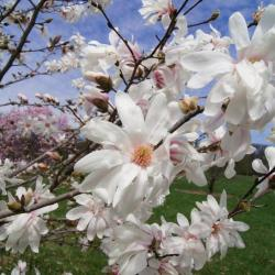 Magnolia 'Iufer' (Iufer Magnolia), flower, full