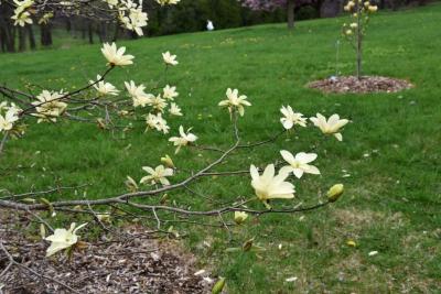 Magnolia 'Gold Star' (Gold Star Magnolia), inflorescence