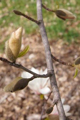 Magnolia 'Iufer' (Iufer Magnolia), bark, branch