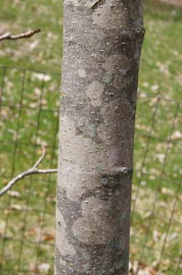 Magnolia 'Ivory Chalice' (Ivory Chalice Magnolia), bark, branch