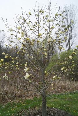 Magnolia 'Golden Rain' (Golden Rain Magnolia), habit, spring