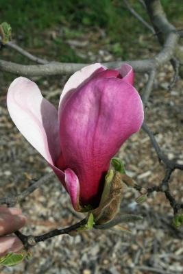 Magnolia 'Marillyn' (Marillyn Magnolia), flower, full