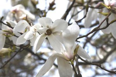 Magnolia 'Wada's Memory' (Wada's Memory Magnolia), flower, full
