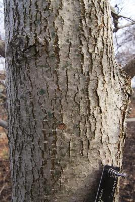 Magnolia 'Yellow Bird' (Yellow Bird Magnolia), bark, trunk