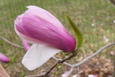 Magnolia 'Simple Pleasures' (Simple Pleasures Magnolia), flower, full
