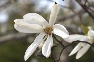 Magnolia 'Wada's Memory' (Wada's Memory Magnolia), flower, throat