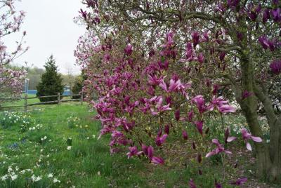 Magnolia 'Randy' (Randy Magnolia), inflorescence