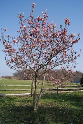 Magnolia 'Royal Crown' (Royal Crown Magnolia), habit, spring