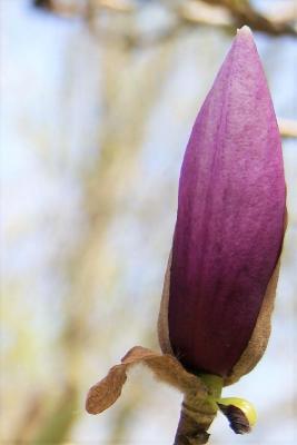 Magnolia 'Nakamura' (Nakamura Magnolia), bud, flower