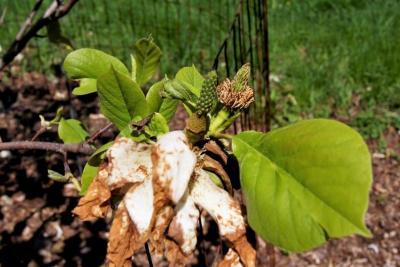 Magnolia 'Wedding Vows' (Wedding Vows Magnolia), fruit, immature