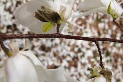 Magnolia ×proctoriana (Proctor's Magnolia), bark, twig
