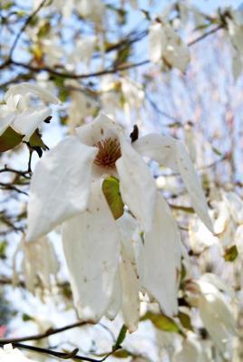Magnolia ×kewensis 'Wada's Memory' (Wada's Memory Magnolia), flower, full