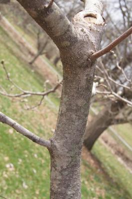 Magnolia 'Yellow Fever' (Yellow Fever Magnolia), bark, branch