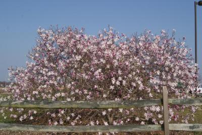 Magnolia ×loebneri 'Leonard Messel' (Leonard Messel Loebner's Magnolia), habit, spring