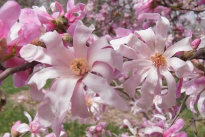 Magnolia ×loebneri 'Leonard Messel' (Leonard Messel Loebner's Magnolia), flower, throat