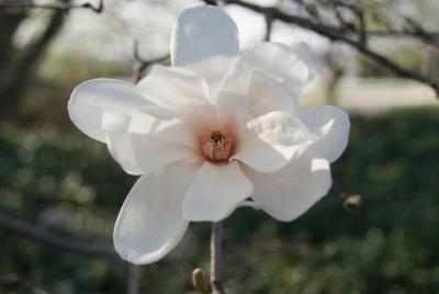 Magnolia ×loebneri 'Merril' (Merrill Loebner's Magnolia), flower, full