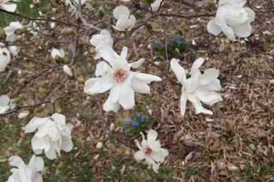 Magnolia ×loebneri 'Merrill' (Merrill Loebner's Magnolia), inflorescence