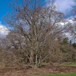 Magnolia ×proctoriana (Proctor's Magnolia), habit, spring