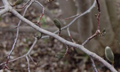 Magnolia ×loebneri 'Merrill' (Merrill Loebner's Magnolia), bark, branch