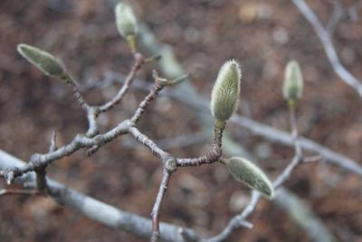Magnolia ×proctoriana (Proctor's Magnolia), bud, flower