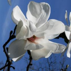 Magnolia ×loebneri 'Merrill (Merrill Loebner's Magnolia), flower, full