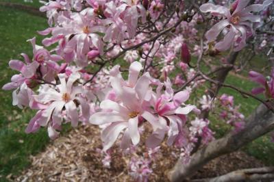 Magnolia ×loebneri 'Leonard Messel' (Leonard Messel Loebner's Magnolia), inflorescence