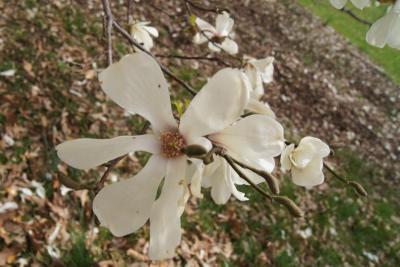 Magnolia ×proctoriana (Proctor's Magnolia), flower, full