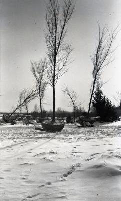 Elms being moved to Hedge Garden in winter