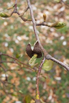 Magnolia ×proctoriana (Proctor's Magnolia), fruit, immature