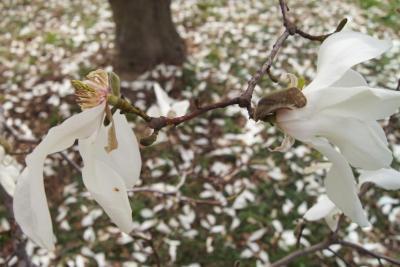 Magnolia ×proctoriana (Proctor's Magnolia), flower, past