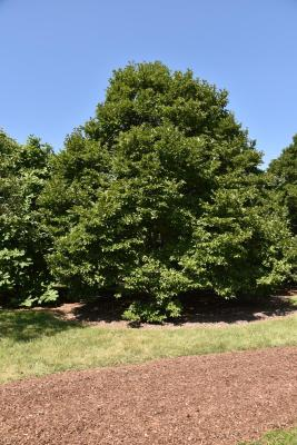 Magnolia ×proctoriana (Proctor's Magnolia), habit, summer