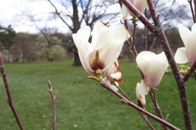 Magnolia ×soulangeana 'Barrington Belle' (Barrington Belle Saucer Magnolia), fruit, immature