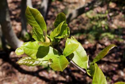 Magnolia ×soulangeana 'Lennei' (Lenne Saucer Magnolia), fruit, immature