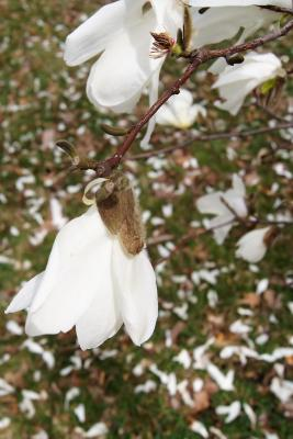 Magnolia ×proctoriana (Proctor's Magnolia), flower, side