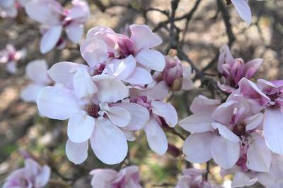 Magnolia ×soulangeana (Saucer Magnolia), flower, full