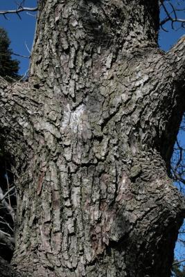 Magnolia acuminata (Cucumber-tree), bark, mature