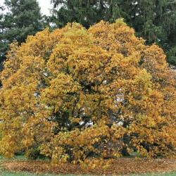 Aesculus parviflora (Bottlebrush Buckeye), habit, fall