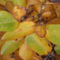Magnolia ×soulangeana (Saucer Magnolia), habit, fall