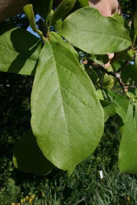 Magnolia ×soulangeana (Saucer Magnolia), leaf, upper surface