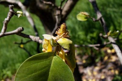 Magnolia acuminata var. subcordata 'Miss Honeybee' (Miss Honeybee Yellow Cucumber-tree), fruit, immature