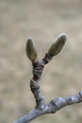 Magnolia acuminata (Cucumber-tree), bud, terminal