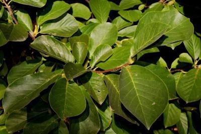 Magnolia denudata (Yulan Magnolia), leaf, fall
