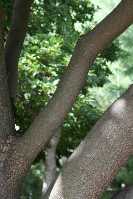 Magnolia grandiflora 'Bracken's Brown Beauty (Bracken's Brown Beauty Southern Magnolia), bark, branch