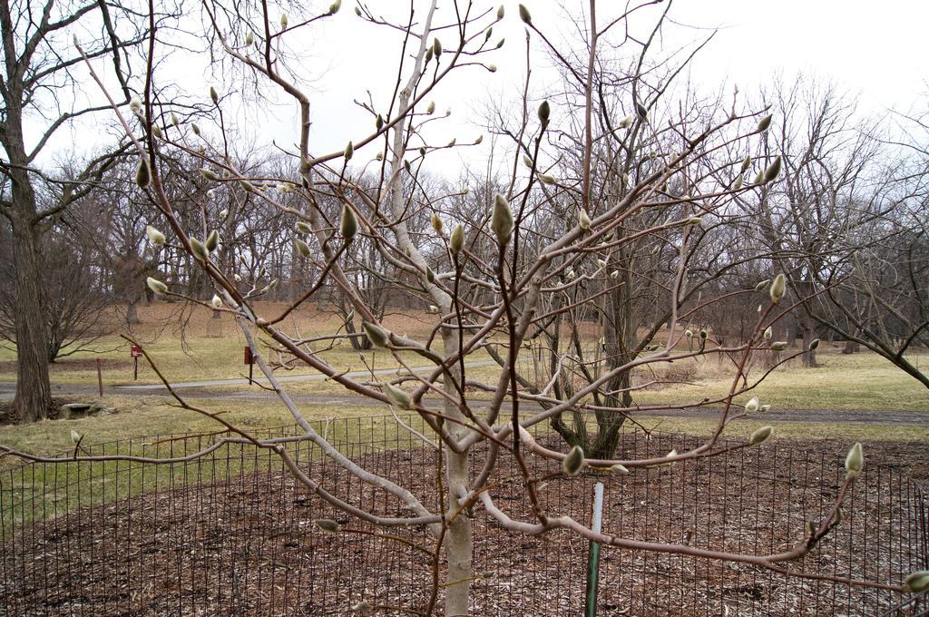 Magnolia denudata 'Forrest's Pink' (Forrest's Pink Yulan Magnolia), habit, winter